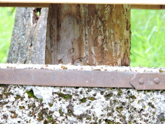 Maus beim Vogelhäuschen